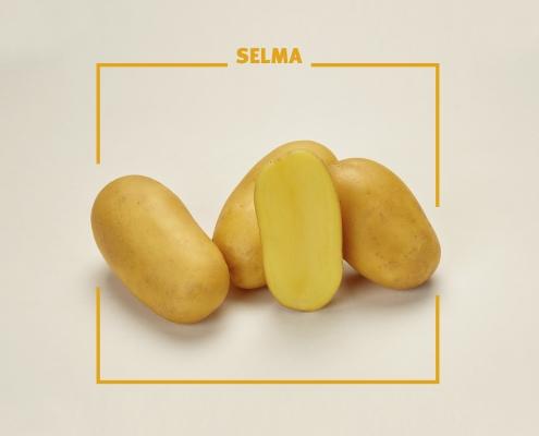 Bavaria Saat, Kartoffelsorte, Selma